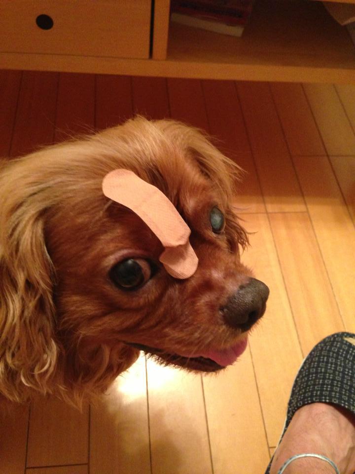 コジロウ白内障「決意」:犬の白内障は治るのか?!