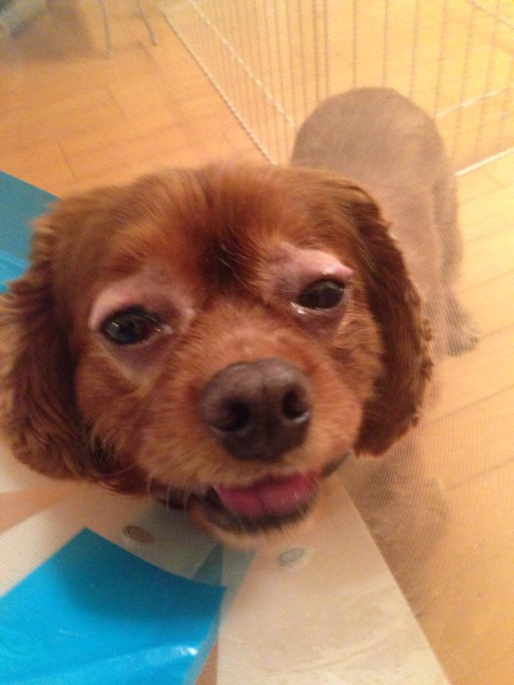 犬の白内障、コジロウ手術後4年目です。定期検査でチェック!!