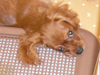 シニア犬コジロウのアレルギー性皮膚炎対策について
