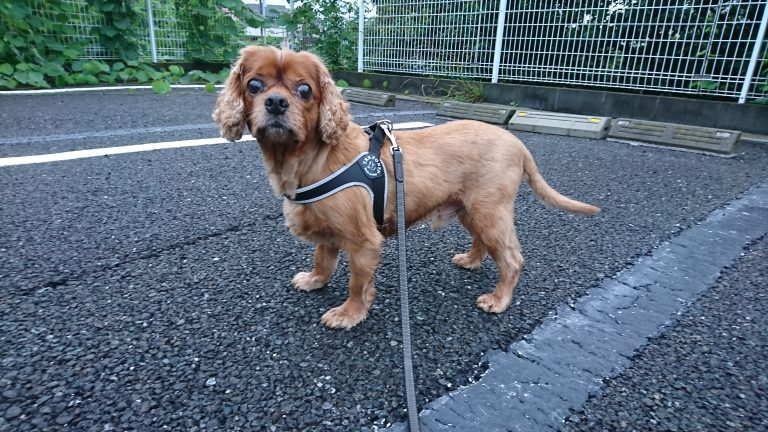暑い夏到来!愛犬の散歩は万全に注意を!!でないと・・・。