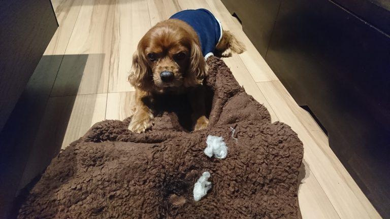 犬の誤飲・誤食について。コジロウ、綿を食べる。