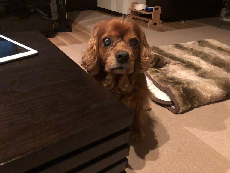 シニア犬コジロウ明後日で11歳。人間の年齢で言うと・・・