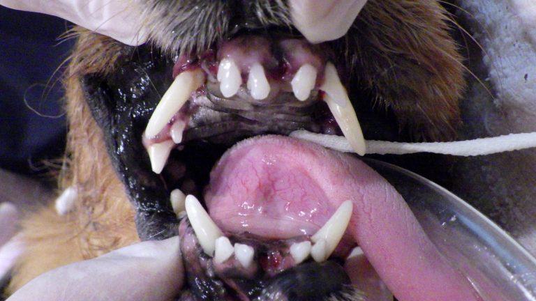 犬の歯周病は怖い。コジロウ全身麻酔で抜歯手術しました。費用は・・・?