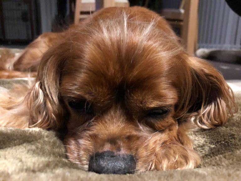 祝!!コジロウ11歳。シニア犬コジロウはまだまだ元気にいきます!!