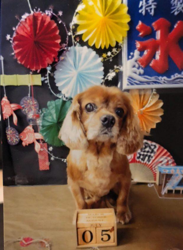 愛犬コジロウ、北海道旅行前にトリミングでサッパリ!!