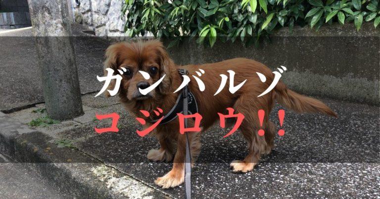 【決意表明】愛犬コジロウ前立腺ガンを克服する!!第ニ章はじまる