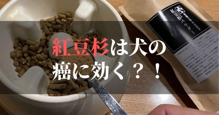 紅豆杉は犬の癌に効果があるのか?!【実際にコジロウも食べ始めました】